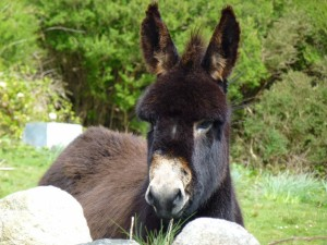 Co Galway Donkey